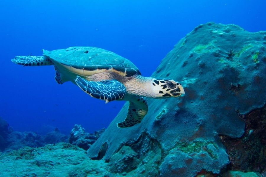 hawksbill turtle Endangered Species
