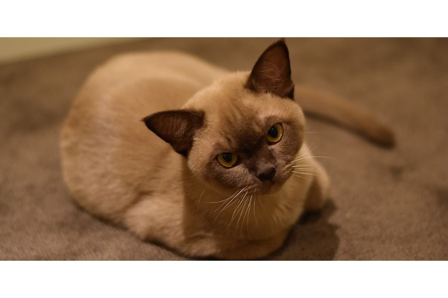 burmese cat Family Cat