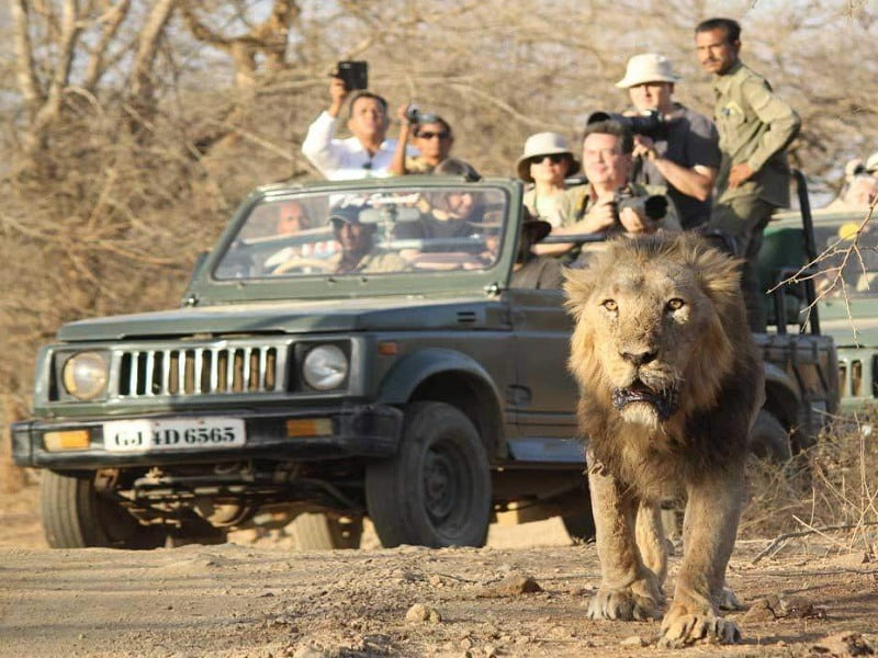 See Lions In The Gir Forests Of Gujarat