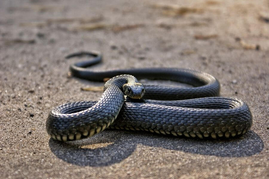 The head of a dead snake must be destroyed