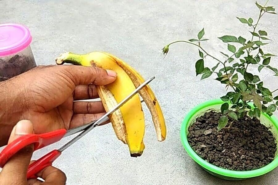 Bananas can be used as fertilizers.